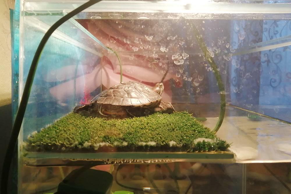 В комплекте с аквариумом был берег, покрытый искусственной травой, — на нем Чипа может часами лежать и греться, вытянув лапы