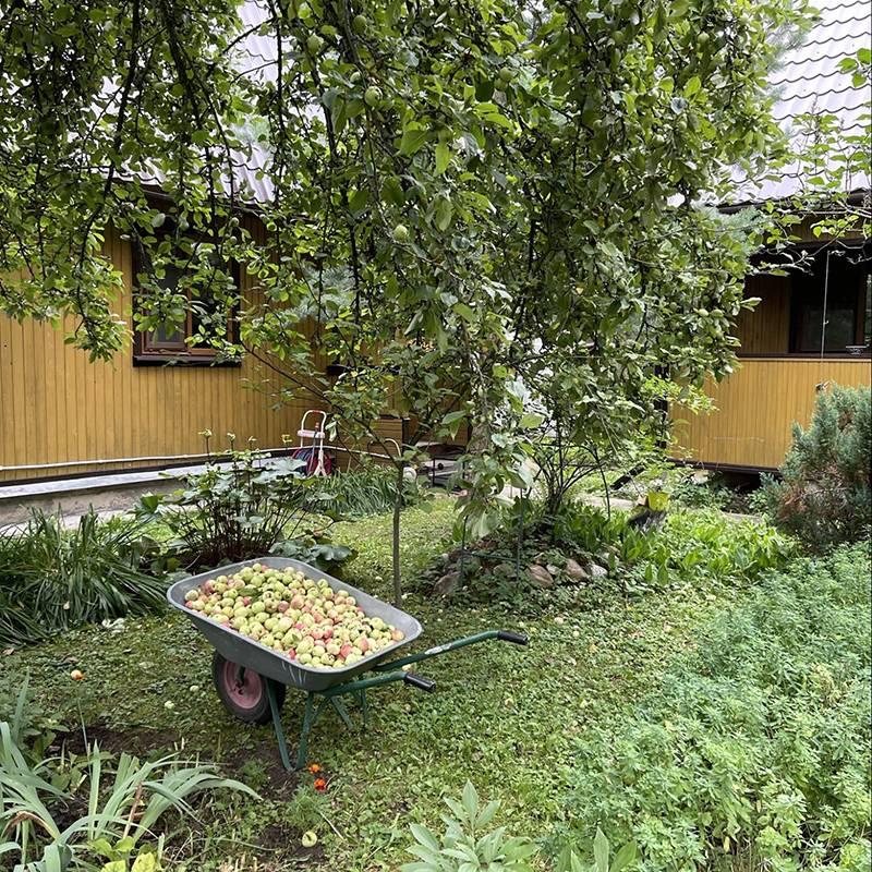 Немного опавших яблок с нашей яблони