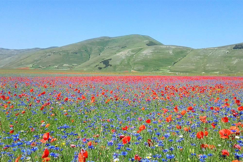 Летом в Умбрии жарко, а в горах немного прохладнее. Поля возле городка Кастеллуччо ди Норча зацветают в конце июня. На цветение приезжают посмотреть туристы и фотографы со всего мира