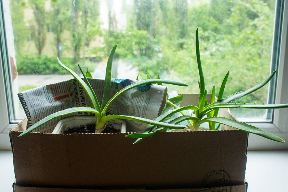 Комнатные цветы мы сначала поставили на подоконники прямо в коробках, а уже потом разобрали