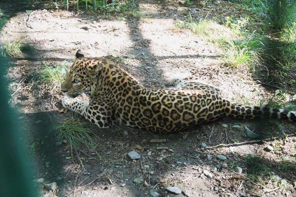 В комплексе есть и переднеазиатский леопард. Источник: Кавказский заповедник