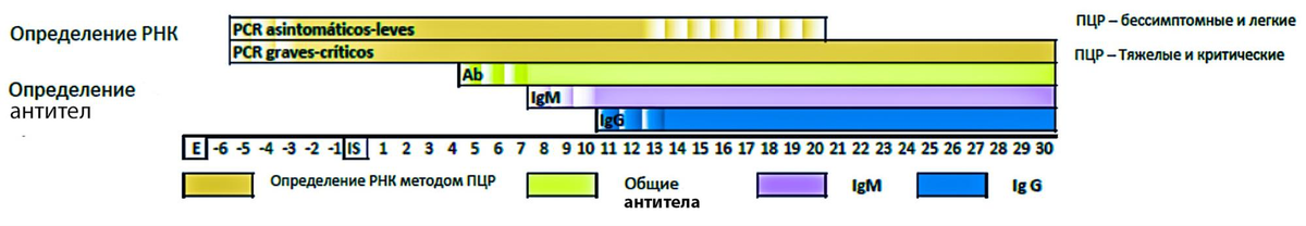 ПЦР-тесты (PCR) определяют инфекцию на следующий день после заражения. РНК вируса определяется в крови до 21—30 дней — в зависимости от тяжести болезни. Тесты на антитела для диагностики коронавирусной болезни не используют, но антитела появляются примерно на 4—7 день с момента заражения. IgM появляются на 6—7 день, а IgG — на 10—11. Источник