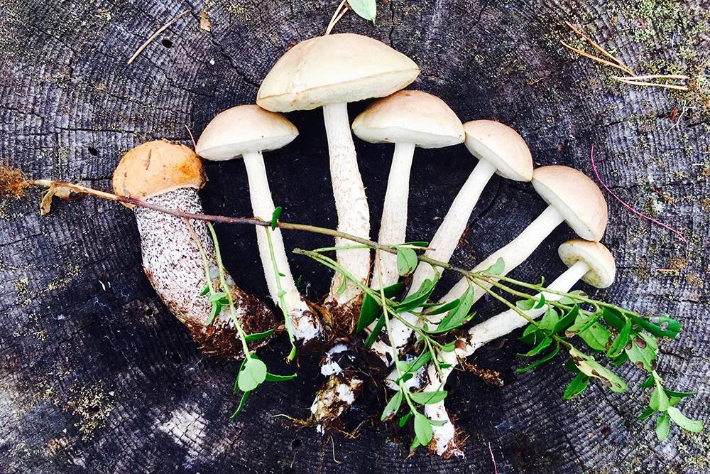 Один подосиновик и шесть подберезовиков, которые я нашел во время обычной прогулки по лесу недалеко от деревни в Финляндии, — я не знал специальных грибных мест