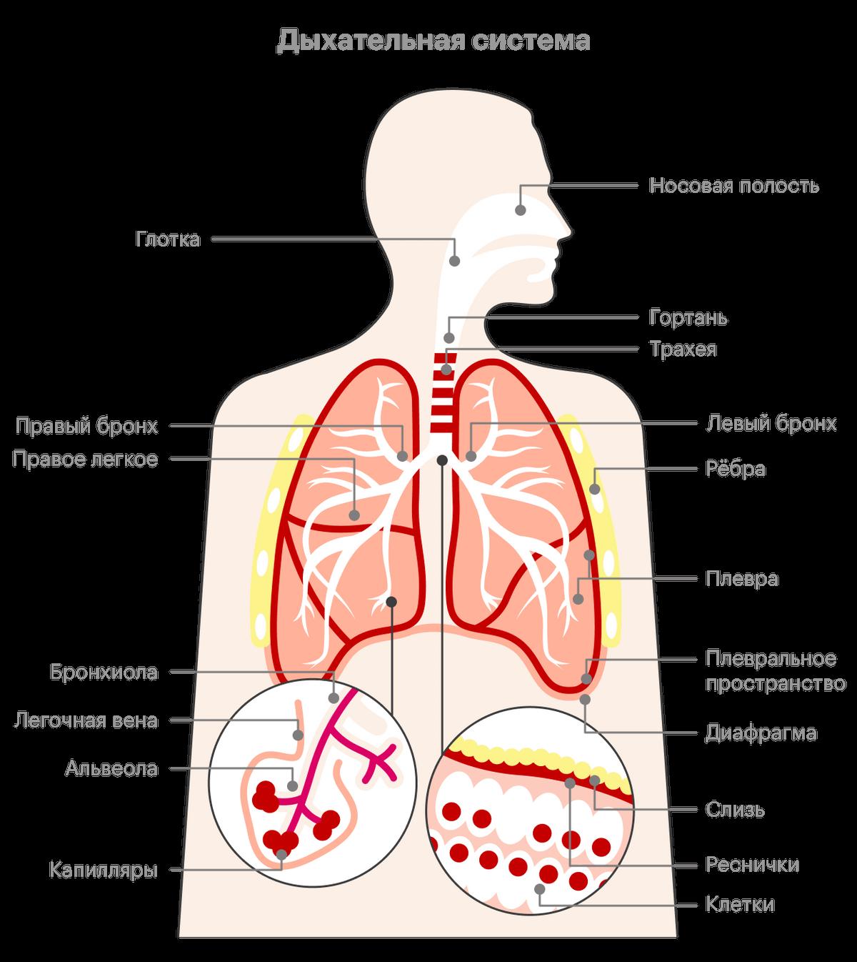 Путь воздуха начинается в носу изаканчивается вальвеолах легких, где ипроисходит газообмен