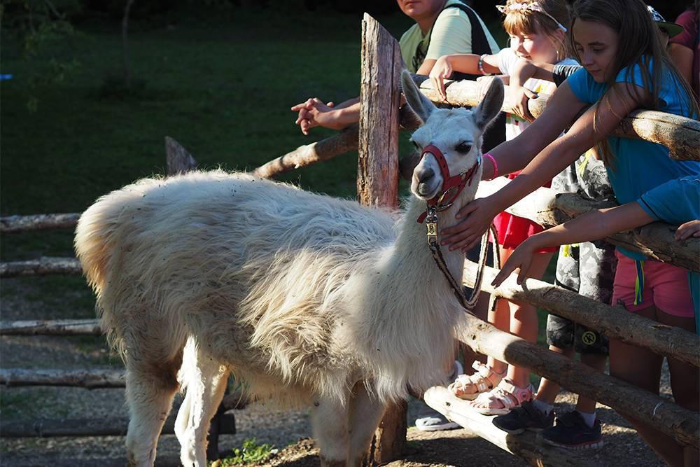 На прогулке с ламой илипони можно почесать животное за ушком, погулять с ним в лесу по специальной тропинке