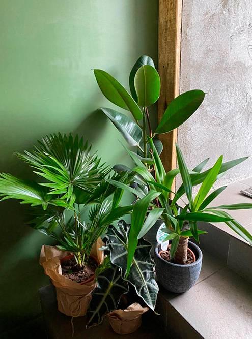 Фикус, юкка иалоказия продаются лучше всего. Юкка — справа сдлинными листьями, аалоказия — посередине сдвумя темными листами