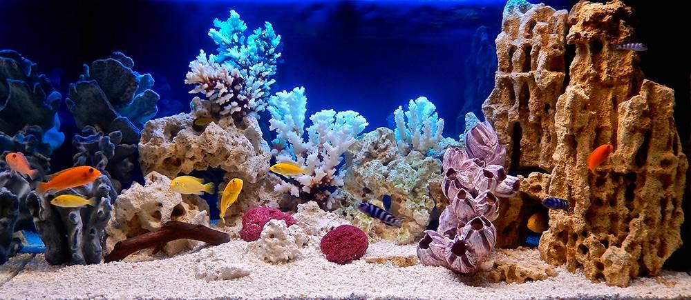 Пейзаж псевдоморя. Желтые рыбы — лабидохромис йеллоу, полосатые — псевдотрофеус демасони, оранжевые — красная зебра. Источник: Andrey_Nikitin / Shutterstock