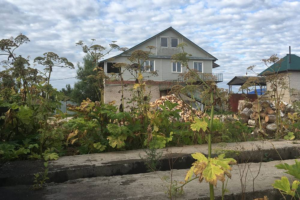 Деревня в Тверской области. Жизнь в окружении борщевика