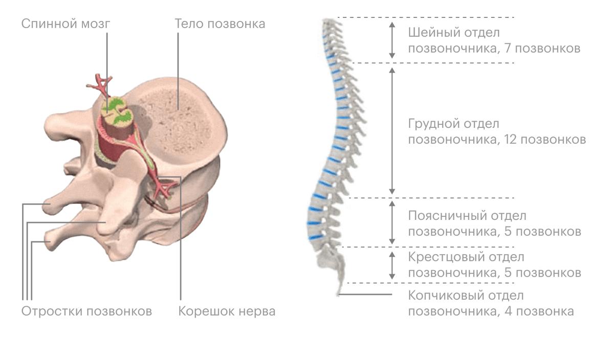 Слева — спинной мозг в «клетке» из костных отростков позвонков, справа — позвоночник целиком. Синим обозначены межпозвоночные диски