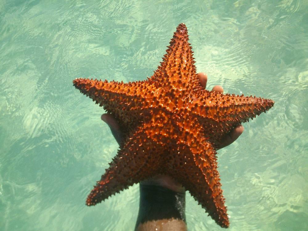 Морская звезда подползает к моллюску, раздвигает ножками створки его раковины, крепко присасывается, выворачивает желудок, засовывает его в раковину и переваривает моллюска прямо в его домике. Не благодарите!