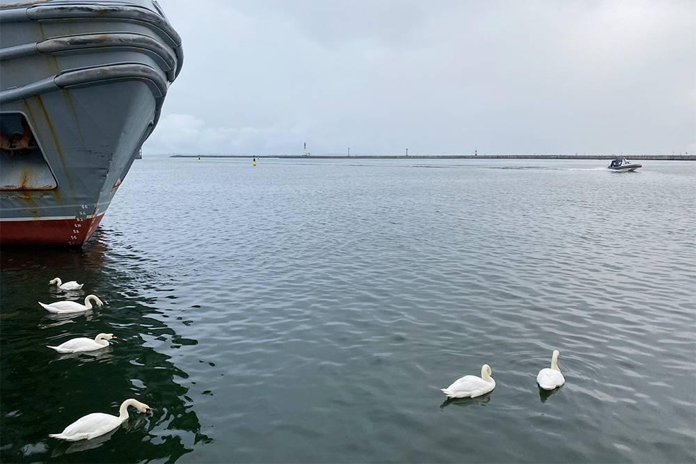 Морские лебеди в Балтийске показались мне дружелюбнее пражских