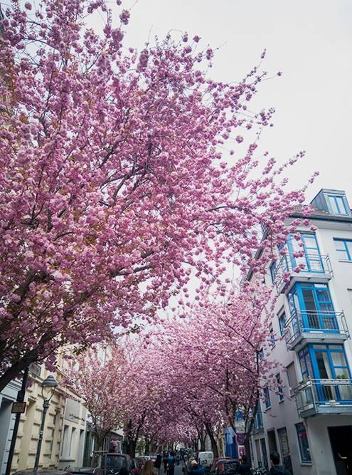 Так в апреле цветет сакура в Бонне на Breite Strasse. У улицы есть даже профиль в «Инстаграме»