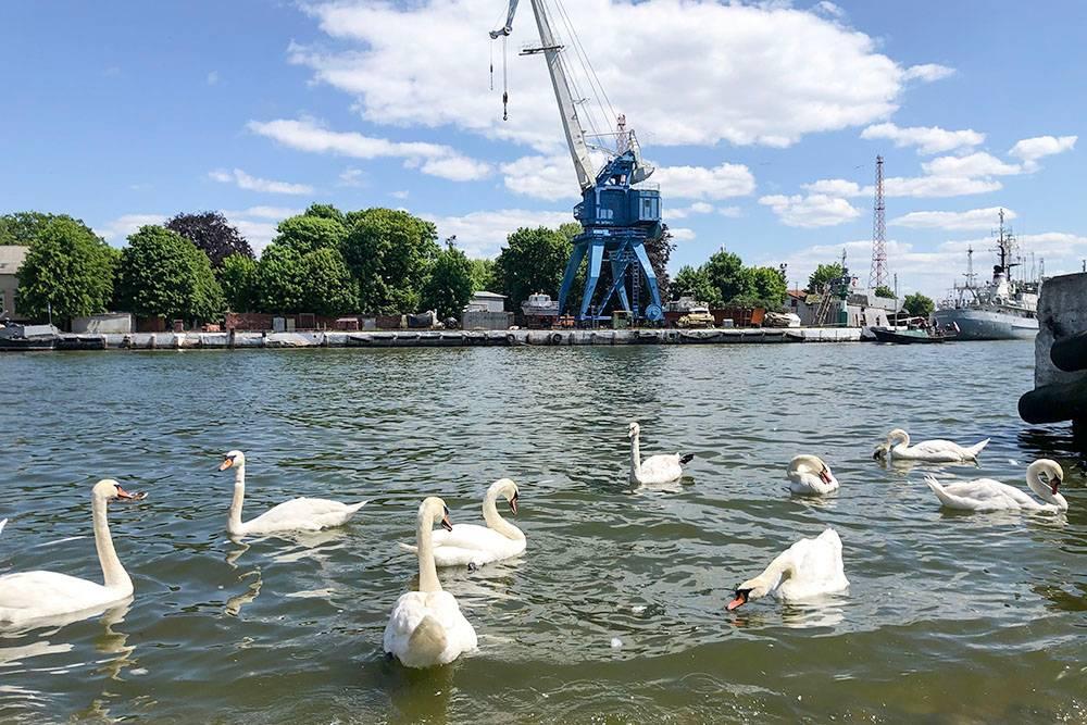 Вдоль военных кораблей плавают лебеди
