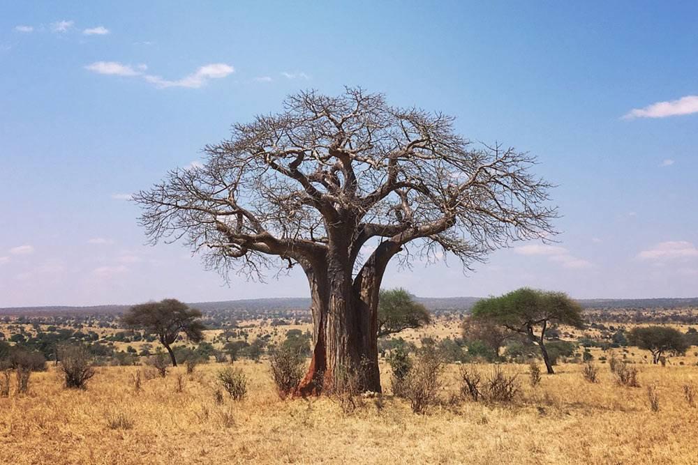 Тарангире называют парком великанов из-за слонов игигантских столетних баобабов
