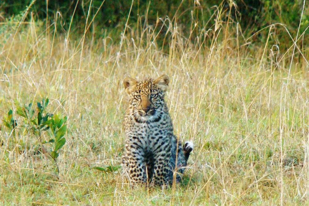 В Серенгети намочень повезло: мывстретили всех зверей избольшой пятерки. Идаже маленьких леопардов-котят
