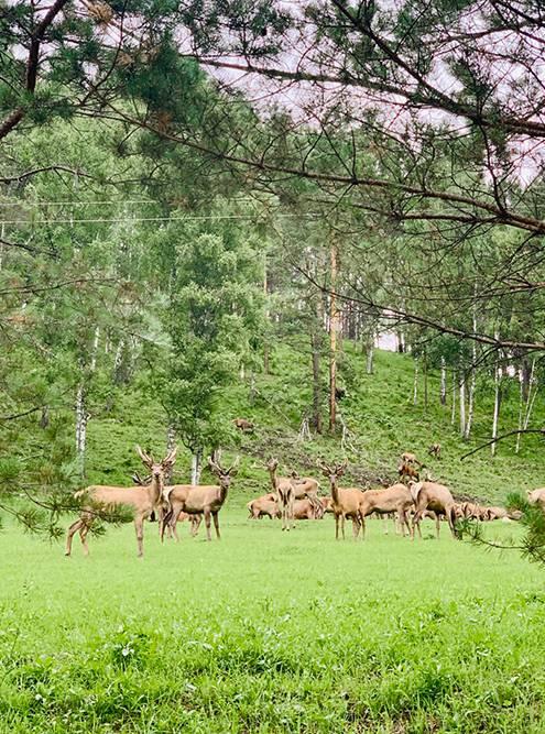 Чтобы вживую увидеть маралов, я побывала на мараловодческой ферме