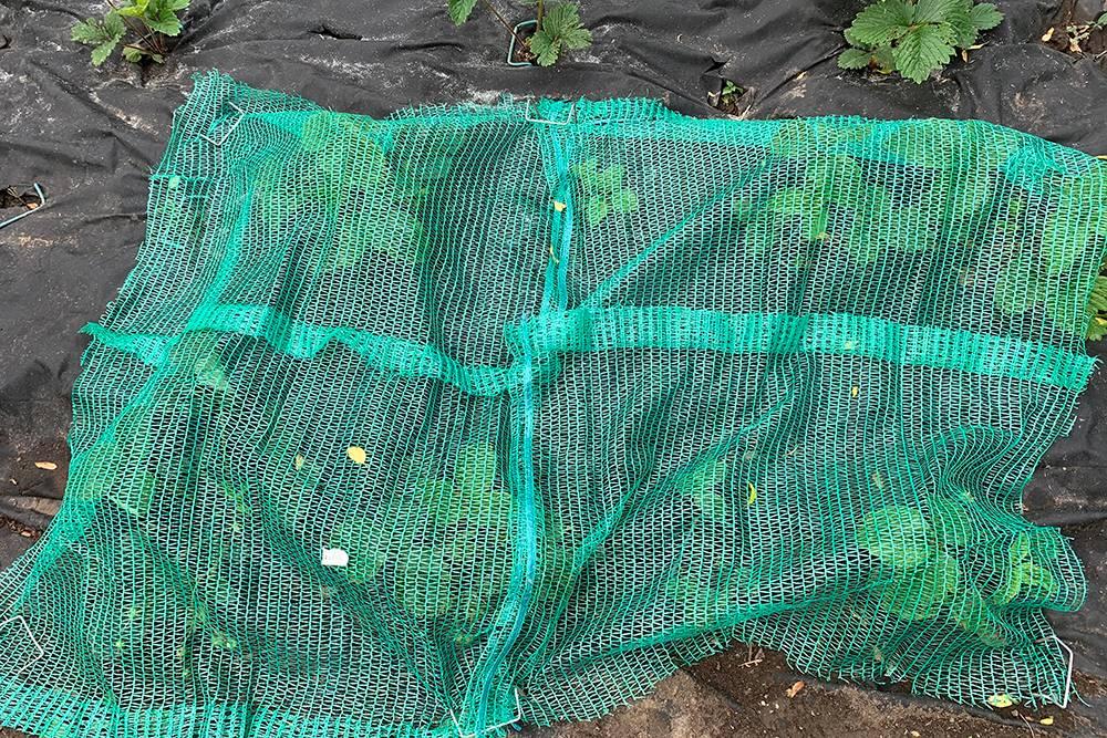 Созревающую клубнику накрыла сеткой от дроздов