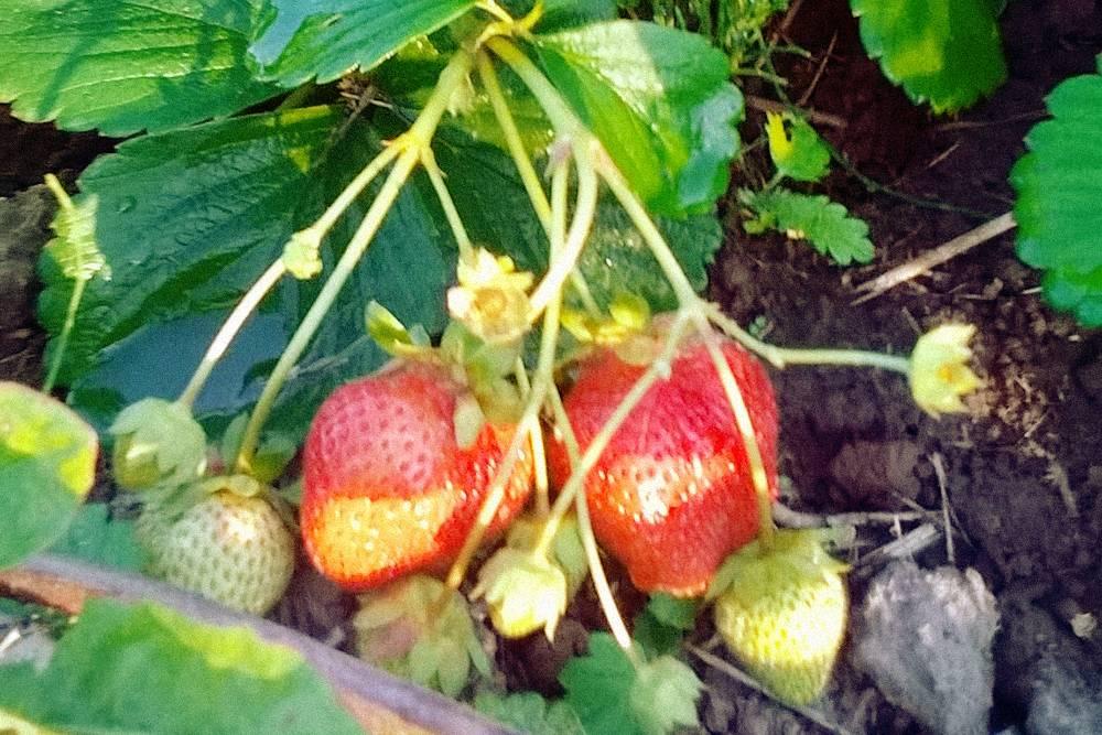 Клубника дает урожай два раза в год