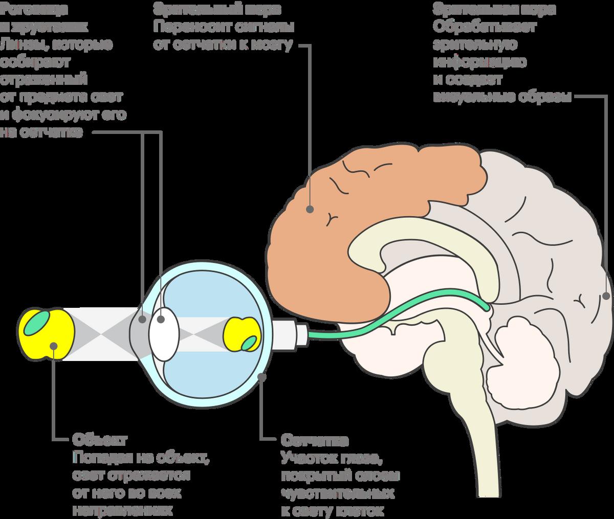 Отраженный от предметов свет фокусируется роговицей и хрусталиком, попадает на сетчатку и оттуда передается в зрительную кору головного мозга по зрительным нервам. Изображение, которое мы видим, создает не глаз, а мозг
