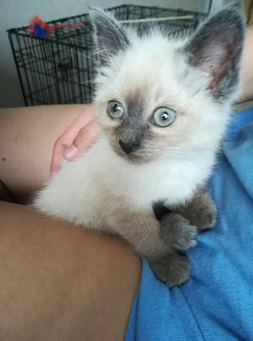 Кошка, похожая на тайскую, переехала жить к родителям моего парня, ее назвали Алисой