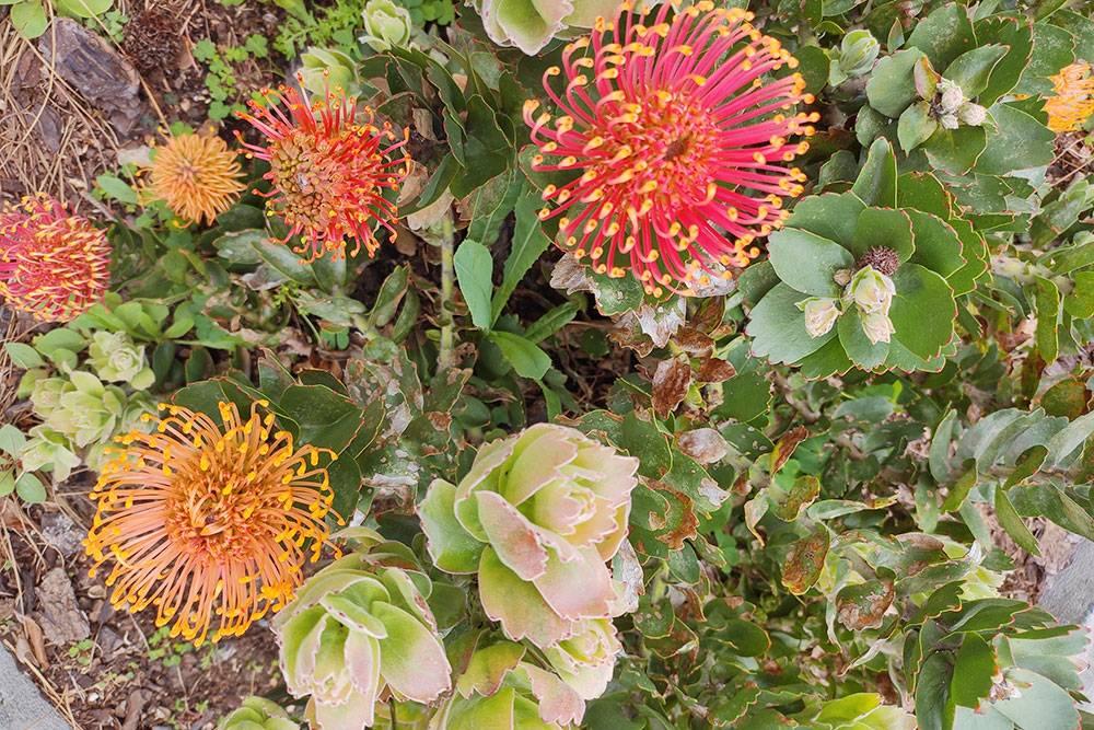 Мое любимое время в ЮАР — начало весны, то есть сентябрь-октябрь. В это время все расцветает: деревья покрываются листвой, цветы источают сильнейшие ароматы. На фото — цветение протей