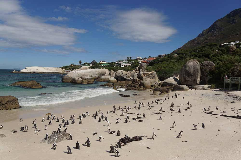 В ЮАР огромное количество достопримечательностей и невероятная природа. Вот одно из моих любимых мест — пляж, на котором вольготно разгуливают пингвины