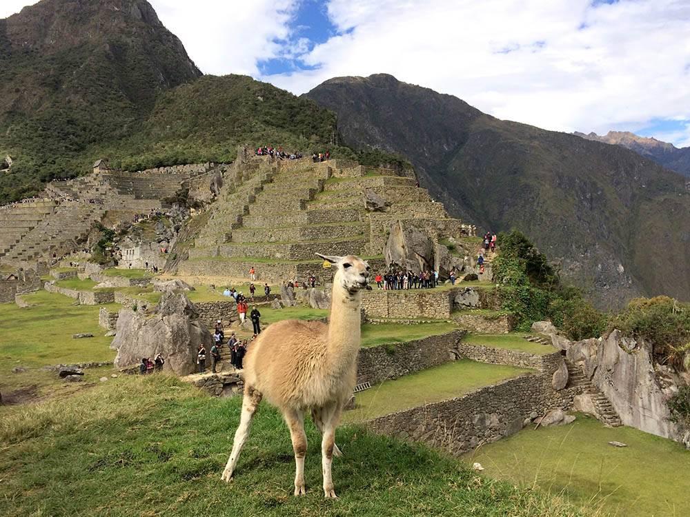 Кроме лам в Мачу-Пикчу живут пумы и андские медведи. Но туристы их не встречают