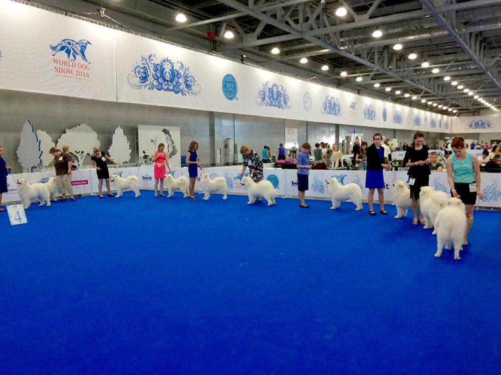 От 2 до 5 тысяч рублей стоят услуги хендлера, который выводит собаку в ринг на российской выставке. При кажущейся простоте задачи выгодно показать собаку — целое искусство, этому специально учатся