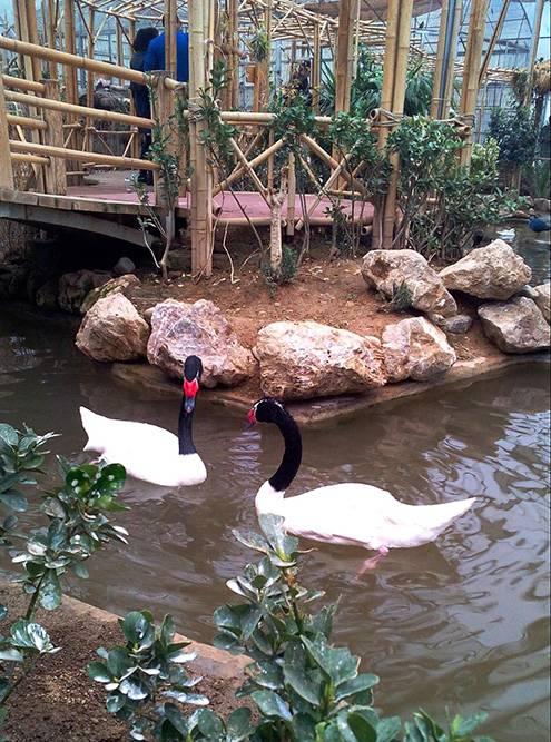 Черно-белые лебеди выглядят очень необычно