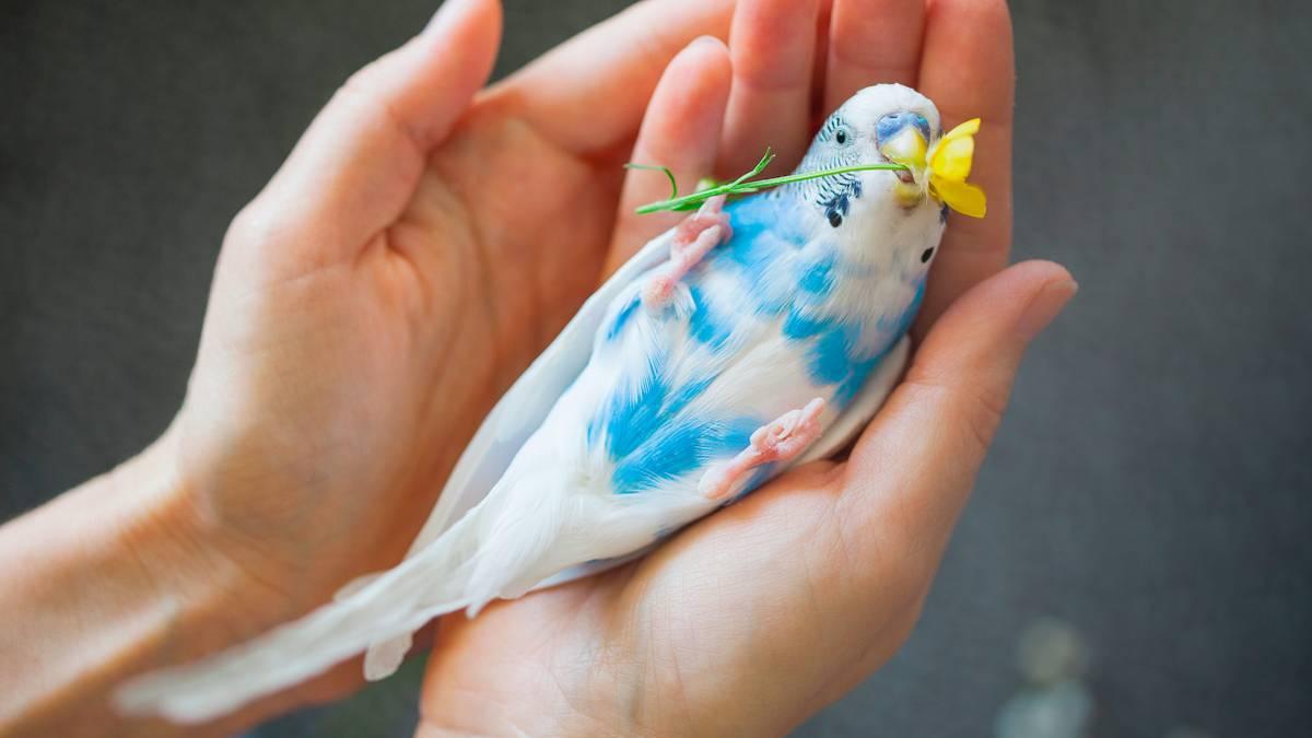 Сколько стоит завести волнистого попугайчика