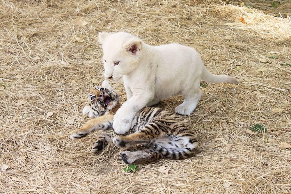 Детеныши львов и тигров играют вместе
