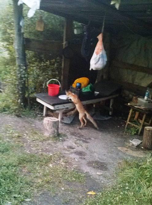 Тут лисица пытается достать свежепойманную рыбу из ведра