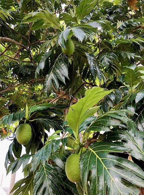Плоды хлебного дерева, которые встретились нам на пляже «Бакку»