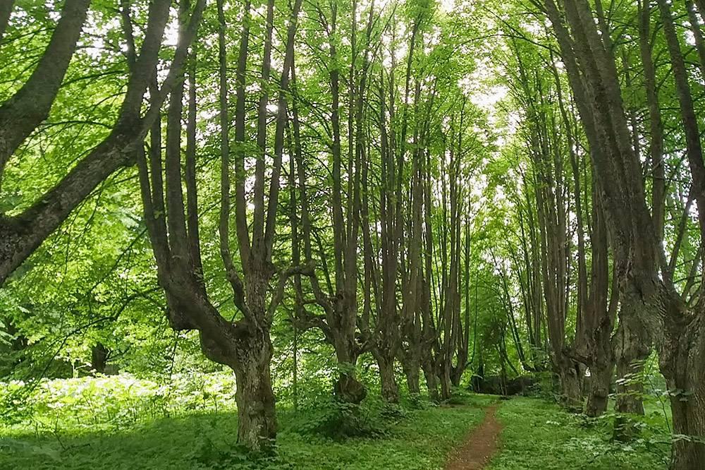 Тенистая аллея, у которой кроны деревьев — это бывшие корни