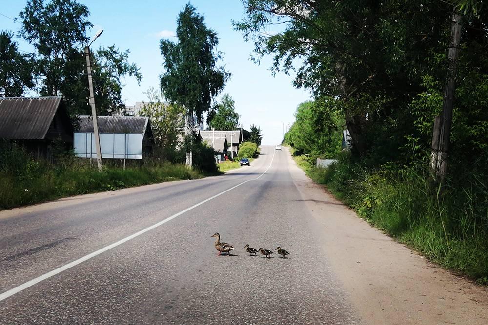 По дороге нам встречается милейшая картина — утка с утятами переходят дорогу прямо перед нами. Просто кадры из «Кавказской пленницы». Пересылаю фото брату, тот тоже умиляется. На этойже трассе примерно месяц назад мы чуть не сбили лося
