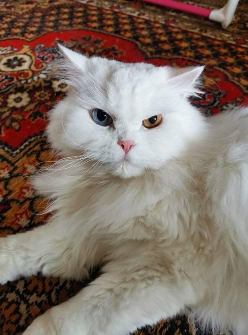 Вид у Снежка всегда злой, но на самом деле он очень добрый кот