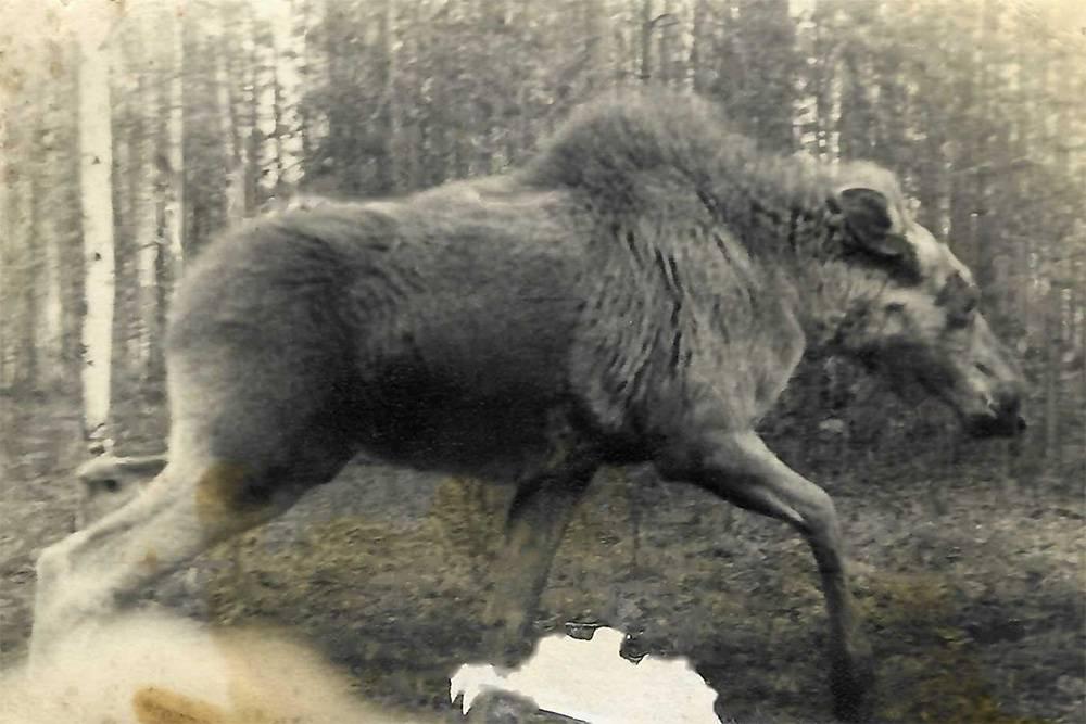 Одна из фотографий лося