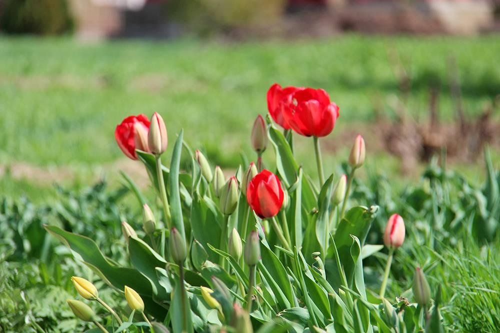 В городе тюльпаны можно увидеть нагазонах иклумбах