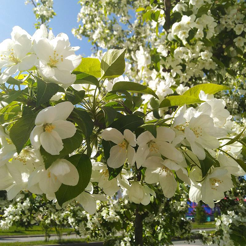 Замечаю очень красивую цветущую яблоню. Даша говорит, что еслибы я не был таким чувствительным, то и подобных мелочейбы не замечал и не радовался им