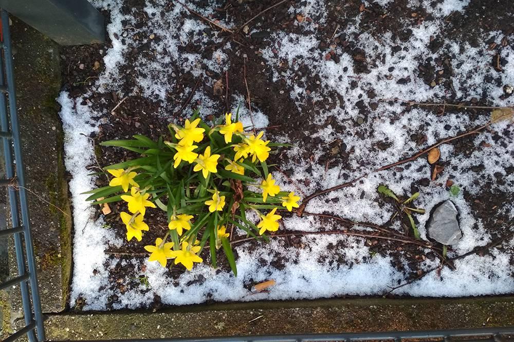 Нарциссы и вообще цветы в снегу — это нормальное явление для Кельна