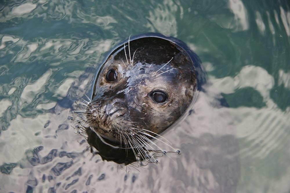 Сайменская нерпа выглядывает из воды. Источник: twicepix / Flickr