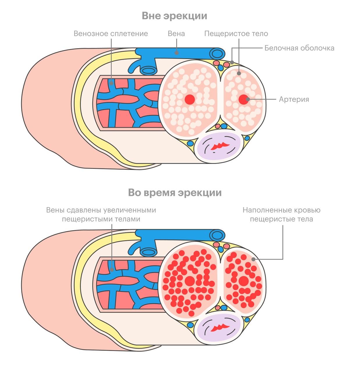 На рисунке снизу видно, как заполненные кровью пещеристые тела пережимают вены, не давая крови покинуть член. Ингибиторы ФДЭ-5 помогают максимально продлить это состояние