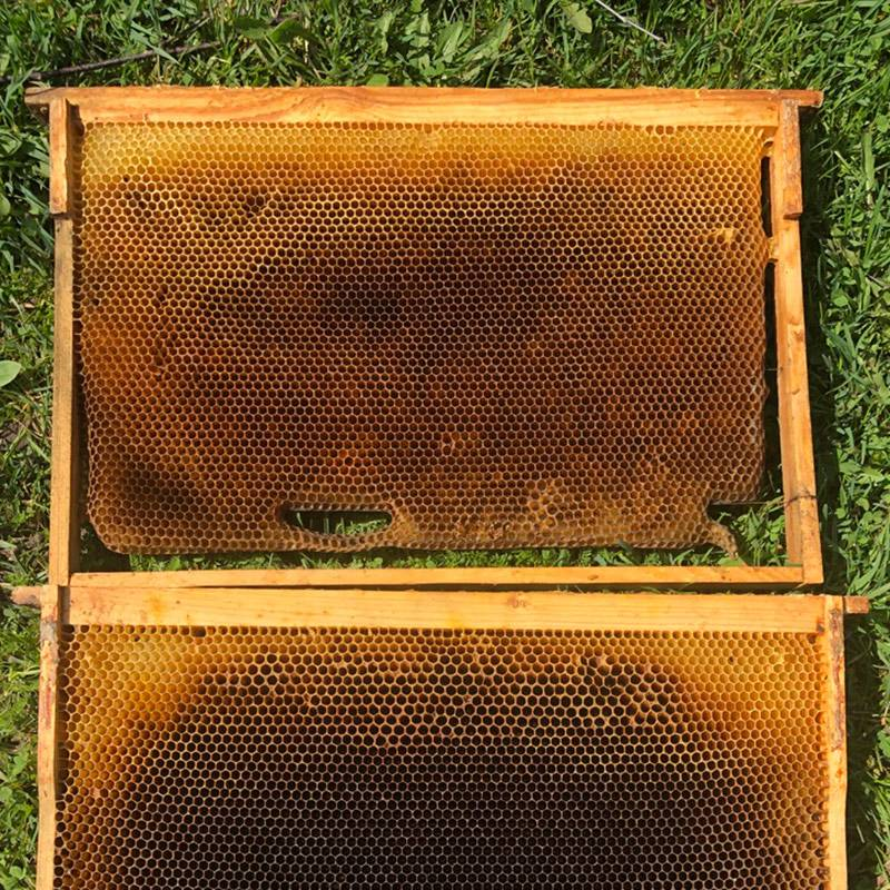 Снизу уже старая рамка, непригодная длядальнейшего использования. Когда из ячеек выходит несколько поколений пчел, соты чернеют и перестают пропускать через себя свет. Это показатель, что рамку пора сменить