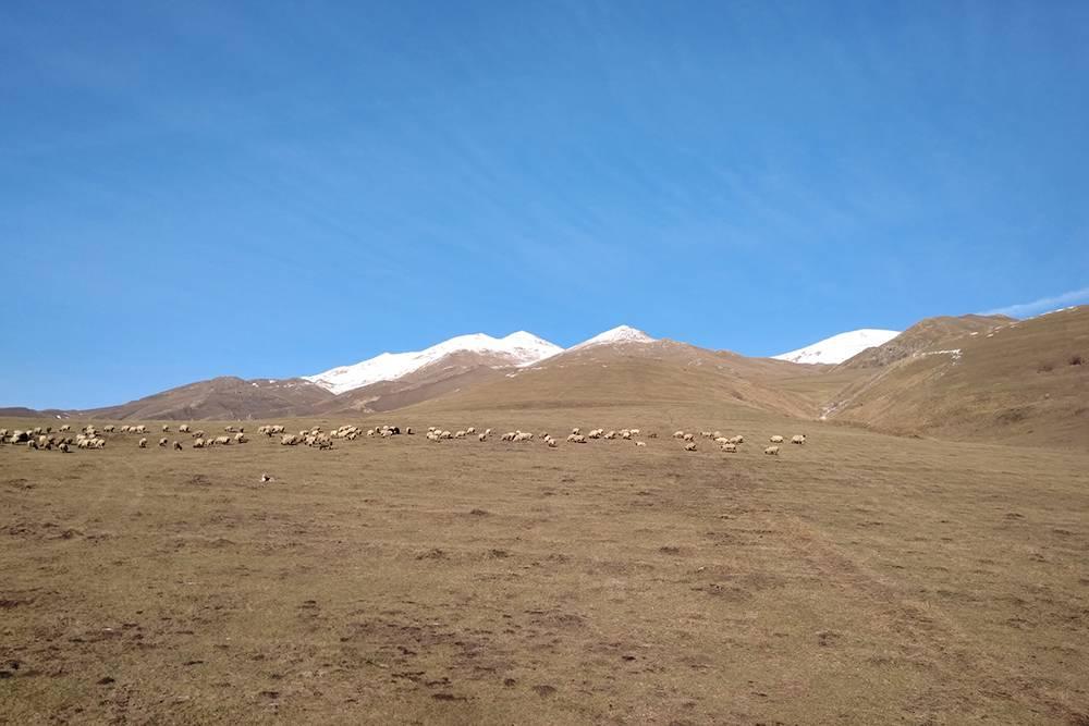 В горах Армении из окна автомобиля мы видели отары овец и стада коров