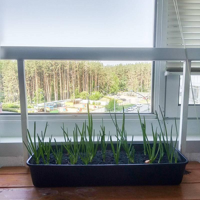 На балконе мы растим зеленый лук и салат