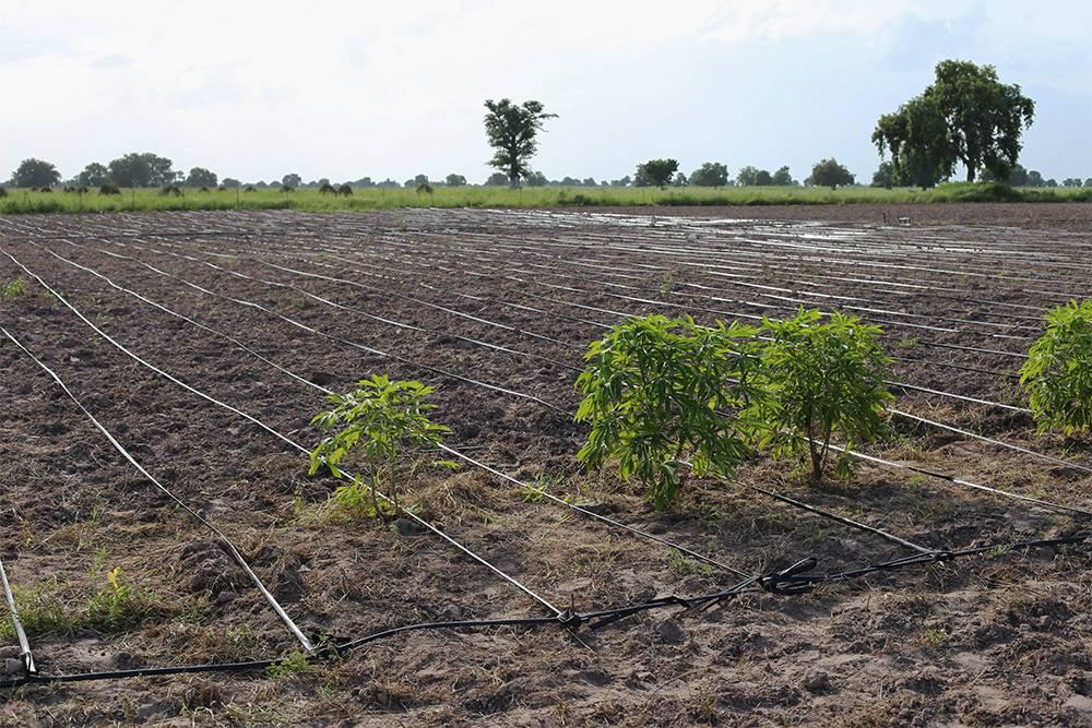 Капельный полив используют даже в промышленных масштабах на полях. Неважно, какой длины будет капельная лента, главное, чтобы она лежала ровно, безизгибов. Источник: Boulenger Xavier / Shutterstock