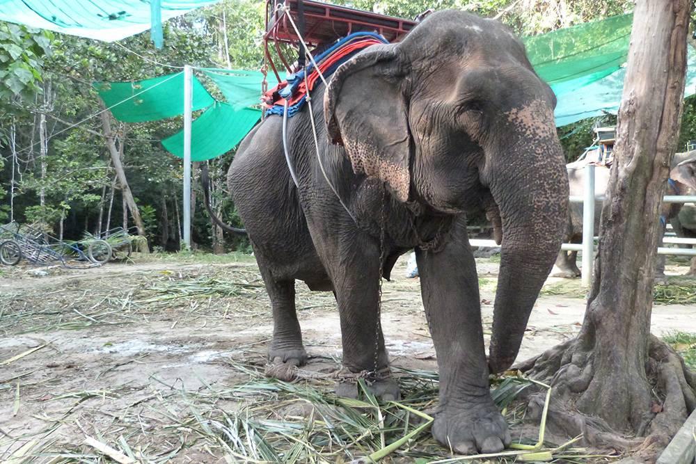 Чанг переводится с тайского как «слон». Покататься на слонах или покормить их в Таиланде можно почти на каждом курорте. Мы ограничились кормежкой