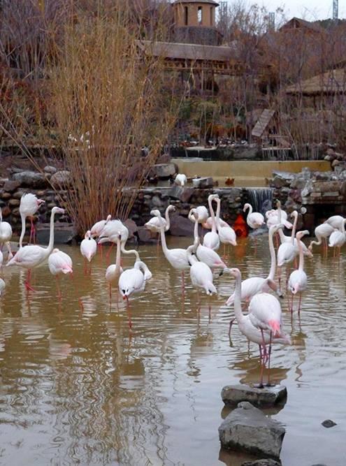Стая фламинго почти не покидает водоем