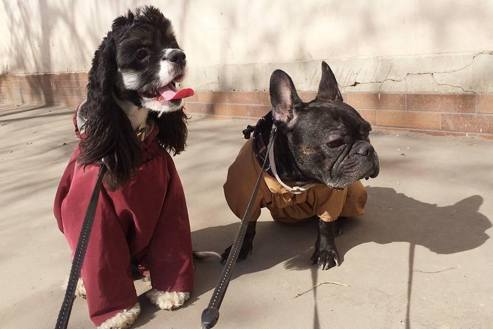 До того, как мы купили собакам куртки, они носили свитера