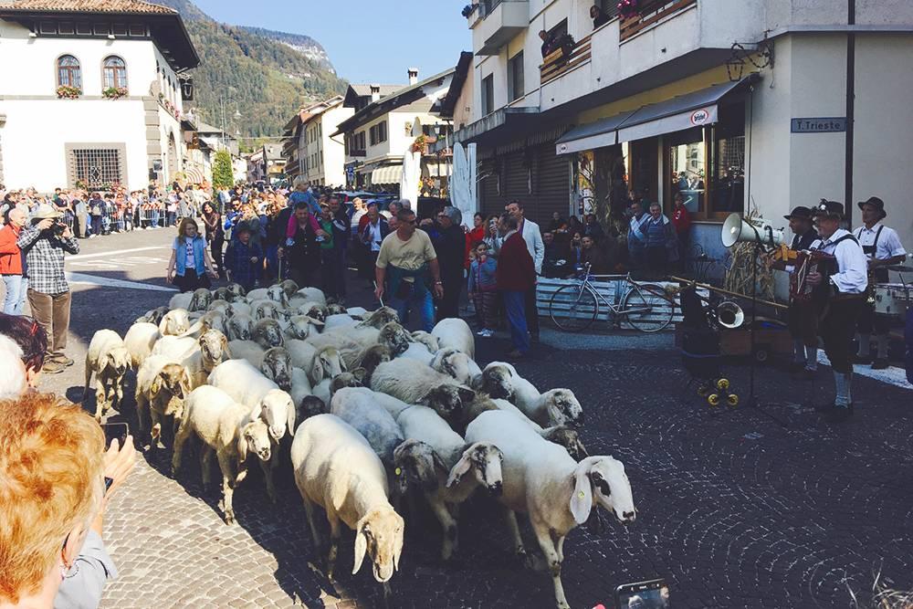 Феста овец, коров, коз и других животных проходит в октябре